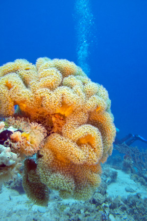 sarcophyton: coral reaf with great yellow mushroom leather coral at the bottom of tropical sea