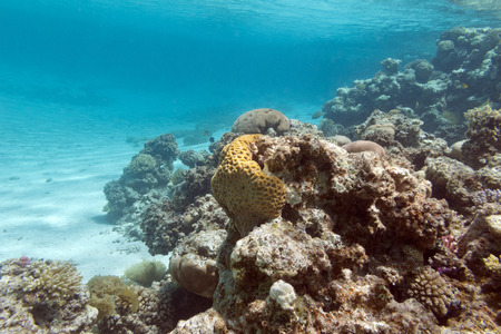 stony corals: colorful coral reef under the surface of water in tropical sea underwater