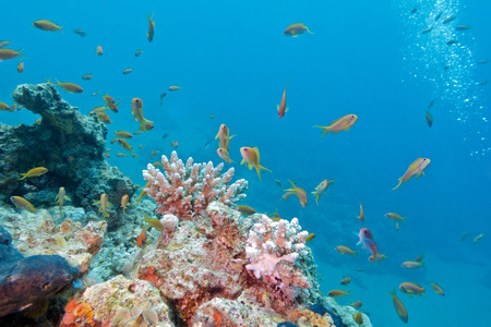 colorful coral reef with shoal of fishes scalefin anthias in tropical sea photo