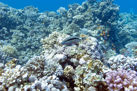 scleractinia: colorful coral reef with single blackspot goatfish at the bottom of tropical sea