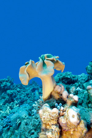 sarcophyton: coral reef with mushroom leather coral at the bottom of tropical sea , underwater