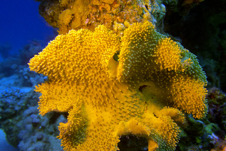 sarcophyton: coral reef with great yellow mushroom leather coral at the bottom of tropical sea