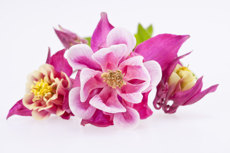 purple flowers of Aquilegia vulgaris isolated on white background