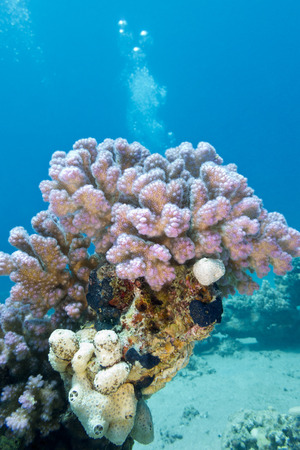 madreporaria: coral reef with pink rasberry coral at the bottom of tropical sea