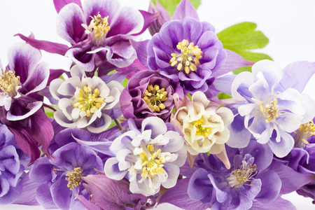 pink columbine: bouquet of multi-colored flowers of Aquilegia vulgaris isolated on white background