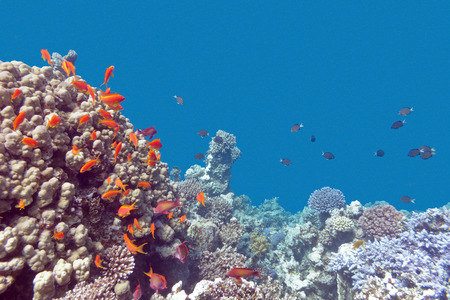 stony corals: coral reef with exotic fishes Anthias at the bottom of tropical sea on a background of blue water Stock Photo