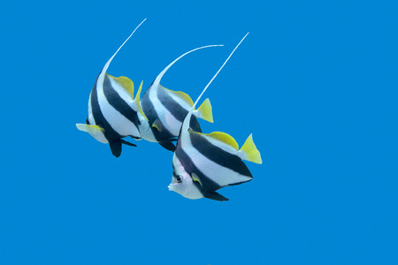 chaetodontidae: bannerfishes in tropical sea on a background of blue water underwater