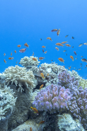 acropora: colorful coral reef with shoal of fishes scalefin anthias in tropical sea Stock Photo