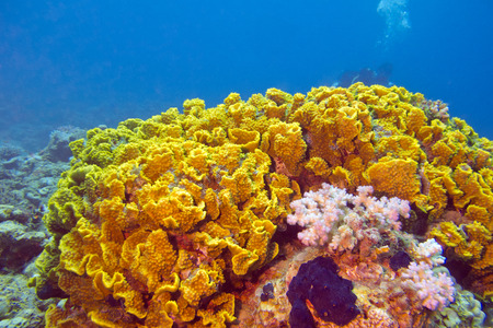 coral reef with yellow coral turbinaria mesenterina at the bottom of tropical sea photo