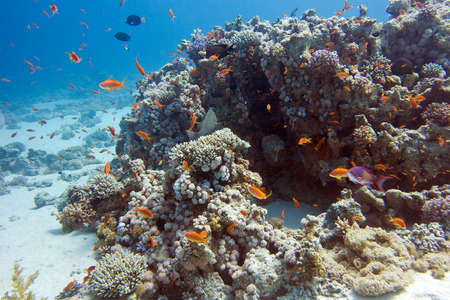 madreporaria: colorful coral reef with exotic fishes Anthias at the bottom of tropical sea, underwater