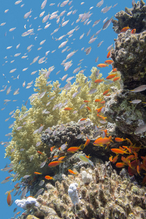 anthias: colorful coral reef with exotic fishes Anthias at the bottom of tropical sea, underwater
