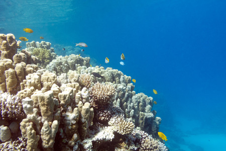 acropora: Coral reef with porites corals at the bottom of tropical sea, underwater