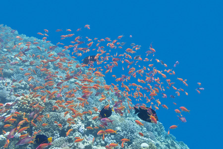 exotic fishes: colorful coral reef  with shoal of exotic fishes Anthias at the bottom of tropical sea