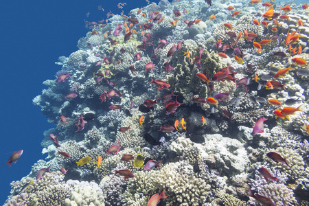 madreporaria: colorful coral reef  with shoal of exotic fishes Anthias at the bottom of tropical sea