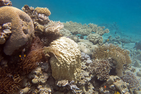 hard coral: coral reef with hard corals at the bottom of tropical sea, underwater
