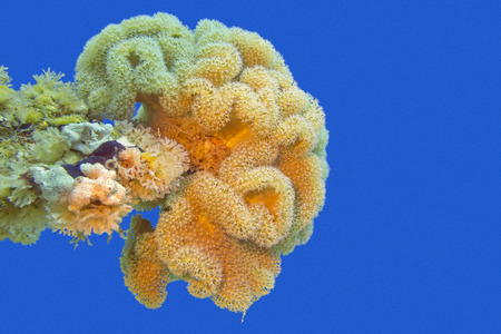 sarcophyton: coral reaf with great yellow mushroom leather coral at the bottom of tropical sea on a background of blue water