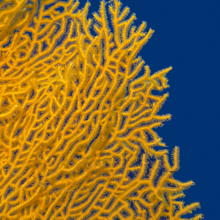 gorgonian sea fan: gorgonian on a background of blue water in tropical sea, underwater