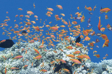 acropora: coral reef with shoal of exotic fishes Anthias at the bottom of tropical sea