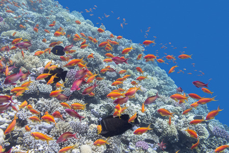 acropora: colorful coral reef with orange fishes Anthias in tropical sea, underwater Stock Photo