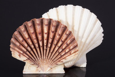 molluscs: molluscs sea shells isolated on black background Stock Photo