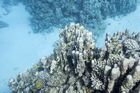 stony coral: coral reef with great porites coral at the bottom of tropical sea, underwater