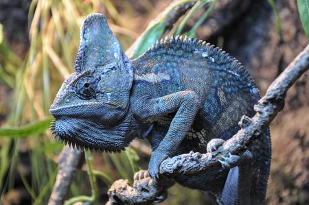 animales del zoo: solo camaleón en una rama, de cerca