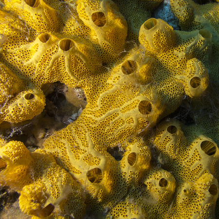seaa: Yellow sponge on bottom of tropical seaa, underwater Stock Photo