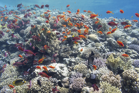 exotic fishes: colorful coral reef with exotic fishes at the bottom of tropical sea