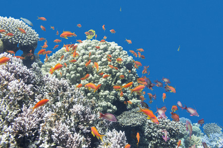anthias: coral reef with exotic fishes Anthias at the bottom of tropical sea on a background of blue water Stock Photo