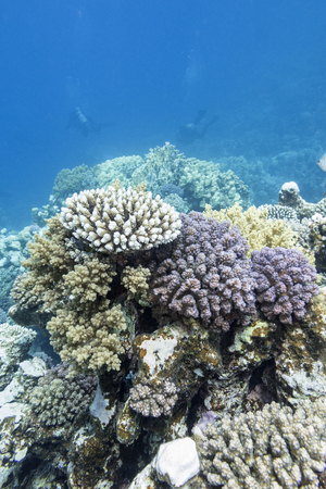 acropora: colorful coral reef with divers at the bottom of tropical sea