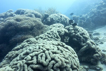 stony corals: large grape coral at great depth at the bottom of tropical sea Stock Photo