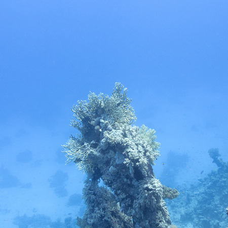 scleractinia: coral reef at the bottom of tropical sea on great depth on a blue water background