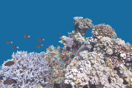 madreporaria: colorful coral reef with  fishes scalefin anthias in tropical sea