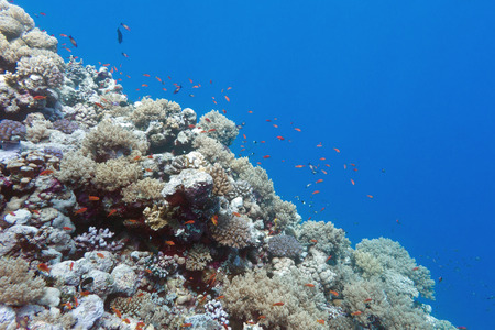 anthias: colorful coral reef with shoal of fishes scalefin anthias in tropical sea Stock Photo