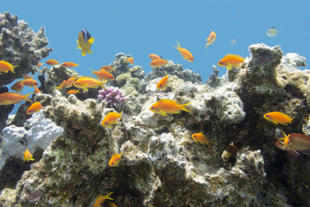 madreporaria: coral reef with hard corals and exotic fishes anthias in tropical sea Stock Photo
