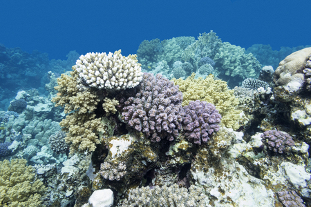 madreporaria: colorful coral reef at the bottom of tropical sea, underwater Stock Photo