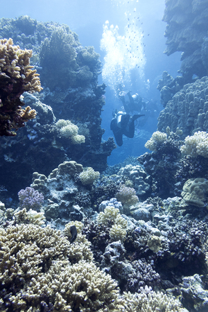 madreporaria: coral reef with divers at the bottom of tropical sea, underwater