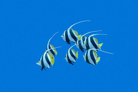 aquarium: bầy bannerfishes trên một nền tảng của làn nước trong xanh ở vùng biển nhiệt đới, dưới nước Kho ảnh