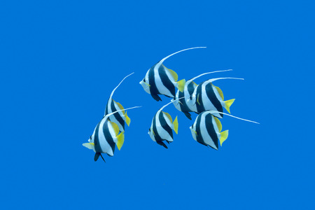 peces de acuario: banco de Bannerfishes sobre un fondo azul del agua en el mar tropical, bajo el agua Foto de archivo