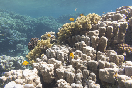 madreporaria: Coral reef with porites corals at the bottom of tropical sea, underwater