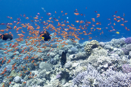 anthias: colorful coral reef with shoal of exotic fishes anthias at the bottom of tropical sea, underwater
