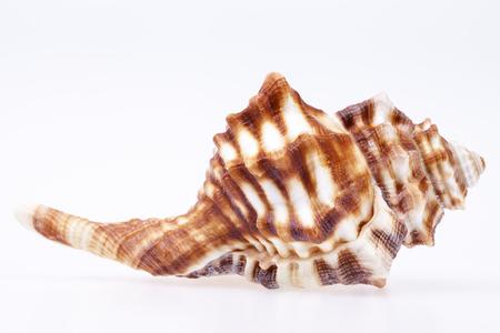 seashell: Seashell of horse conch isolated on white background.