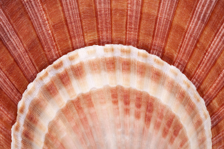 molluscs: backgroun of seashells of mollusk, close up.