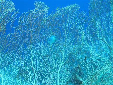 gorgonian sea fan: Coral reef with gorgonian on the bottom of tropical sea on blue water background