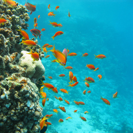 madreporaria: colorful coral reef with shoal of fishes scalefin anthias in tropical sea Stock Photo