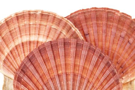 molluscs: Range of seashells of  molluscs isolated on white background, close up