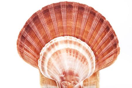 molluscs: Range of seashell of  molluscs isolated on white background.