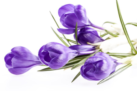 some spring flowers of violet crocus isolated on white background.