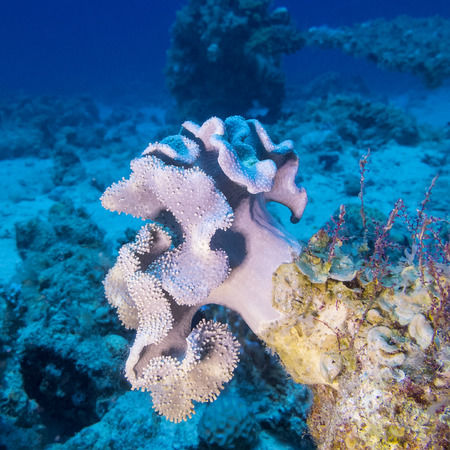 sarcophyton: coral reaf with violet mushroom leather coral at the bottom of tropical sea, underwater