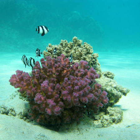 humbug: coral reef with exotic fishes dascyllus at the bottom of tropical sea, underwater